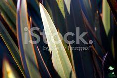 Harakeke Leaves (New Zealand Flax) royalty-free stock photo