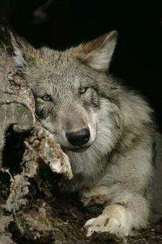 beautiful wolf STOP KILLING WOLVES !