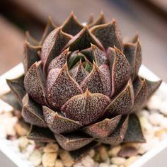 Echeveria purpusorum 大和锦 2019-06-03 #succulents #多肉植物 #echeveria