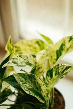 The Best Easy to Grow Hanging Plants for Your Home including Prayer Plant, Pothos, Spider Plant, String of Pearls and more. Tips for growing indoor hanging houseplants Benefits Of Gardening, Gardening Tips, Airplane Plant, Deck Makeover, Prayer Plant, Flower Installation, String Of Pearls, Spider Plants, Decorating Small Spaces