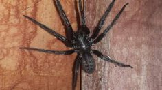 Species: S. florentina – not fully grown  Credit: Stacey Drury  Identify your house spiders with our FREE app! https://www.societyofbiology.org/get-involved/hands-on-biology/spider-app