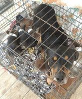 EMILY  and her pups. She is a black and tan coohnhound mix and is 2 years old. They were an owner surrender and the pups are only 4 weeks old so they need a good home. hw-MANY other pups in need on this site!: DARLINGTON COUNTY RESCUE TEAM PO Box 503 Darlington, SC 29540