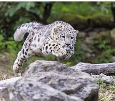 Clouded Snow Leopard Leaping For Prey.