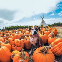 Dog at the pumpkin Patch Fall Dog Photos, Fall Pictures, Puppy Pictures, Puppy Pics, Pumpkin Patch Pictures, Dog Pumpkin, Dog Ramp, Animal Photography, Adventure Photography