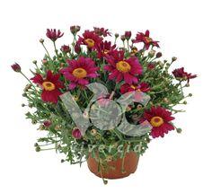 Argyranthemum M-15. Vivercid.