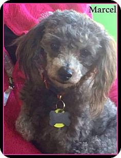 339 Best Our Adoptable Dogs images in 2017   Poodle mix