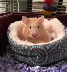 Caught my lil girl giving her best modeling face (and actually sitting in her bed!!) #aww #Cutehamsters #hamster #hamstersofpinterest #boopthesnoot #cuddle #fluffy #animals #aww #socute #derp #cute #bestfriend #itssofluffy #rodents