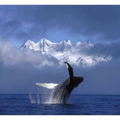 Ocean Animals Photograph - Humpback Whale Breaches In Clearing Fog by John Hyde Orcas, Ocean Creatures, Humpback Whale, Mundo Animal, Sea And Ocean, Whale Watching, Sea World, Nature Animals, Wildlife Nature