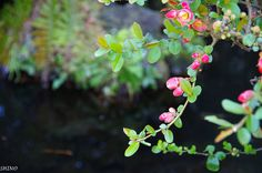 Japanese quince