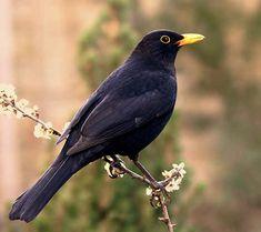 Male Blackbird on cherry blossom Exotic Birds, Colorful Birds, British Garden, Bird Watching, Bird Feathers, Beautiful Birds, Pet Birds, Science Nature, Art Images