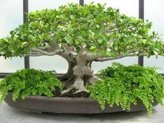 Bonsai - Dish Garden