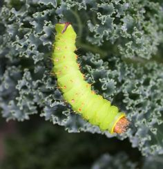 A Polyphemus Moth Caterpillar NATURE STUDY with Video!