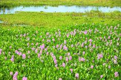 Flora - Pantanal -  005 http://marciabaziquetoperes.com/