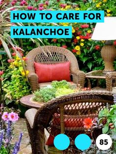 How to Care for Kalanchoe. The Kalanchoe family of plants includes  the familiar kalanchoe houseplant, also called flaming Katy (Kalanchoe blossfeldiana), which also grows outdoors in warm climates. In U.S. Department of Agriculture plant hardiness zones 10 through 12, kalanchoe grows outdoors year-round, or you can treat it as an annual or grow it... Growing Grapes, Growing Flowers, What Is Landscape Architecture, Jade Vine, Rye Grass, Foxtail Fern, Kalanchoe Blossfeldiana, How To Grow Lemon, Weed Killer