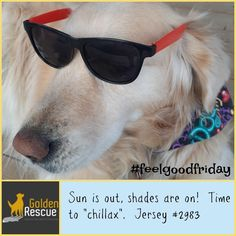 Looks like Jersey is getting ready for the sunshine! #goldenretriever #FeelGoodFriday #secondchance Feel Good Friday, Friday Feeling, Sun Shade, Summer Fun, Mirrored Sunglasses, Have Fun, Stay Safe, Umbrellas Parasols, Summer Fun List