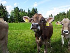 Glückliche Kühe im Allgäu #Allgaeu #Bayern #Alpen