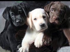 Cuccioli labrador altissima genealogia. Allevamento labrador miele, nero e chocolate con pedigree ENCI-ROI. Genitori selezionati per tipicità e carattere,…