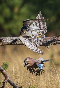 Autumn migration. Female sparrowhawk hunts Jay Bird. Raptor Bird Of Prey, Birds Of Prey, Exotic Birds, Colorful Birds, Beautiful Birds, Animals Beautiful, Animals And Pets, Cute Animals, Sparrowhawk