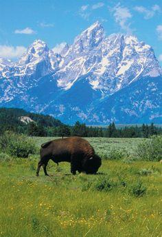 Jackson Hole, Wyoming buffalo