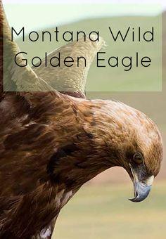 Montana Wild: The Golden Eagle | Glacier Country  http://www.glaciermt.com/golden-eagle.php