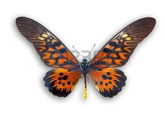 papillon: Belle papillon rouge isolé sur blanc Banque d