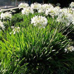 Agapanthus umbellatus Blanche Agapanthe En godet. Agapanthe blanche est une plante vivace qui fleurit en été