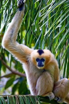 Lar Gibbon - White-handed, Singing, High-flying Ape ...