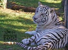 Raja at Rolling Hills Zoo, in Salina, KS. Salina Kansas, Salina Ks, White Tigers, Animal Facts, Zebras, Conservation, Lions, Giraffe, Buildings