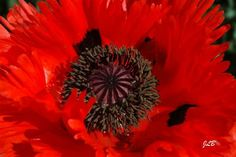 P Poppy Flowers, Poppies, Dandelion, Plants, Dandelions, Poppy, Plant, Taraxacum Officinale, Planets