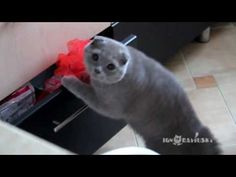 Funny | Cat Burglar Busted - Funny Cat Gets Caught Breaking Into A Drawer