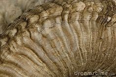 Close-up of Arles Merino sheep horn by Isselee, via Dreamstime