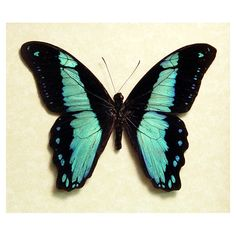 butterflies   Papilio bromius real broad banded swallowtail african Butterfly in an ...