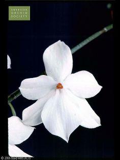 Aerangis luteo-alba var. rhodosticta 'Hilde'