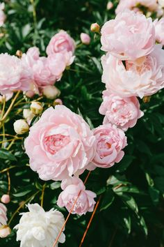 Geraldines Peony Farm // Pacific North West, USA The prettiest flower ? Rare Flowers, Flowers Nature, Beautiful Flowers, Prettiest Flowers, Flora Flowers, Pink Flowers, Peony Flower, Cactus Flower, Climbing Roses