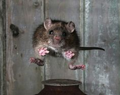 A jumping rat
