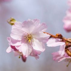 #press #spring has arrived in #berlin with #kirschblüten #cherryblossom #桜 since last weekend