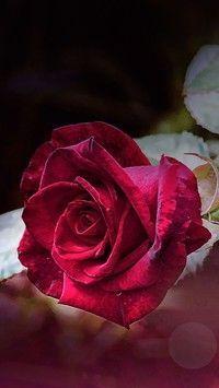 Czerwona Roza W Deszczu Tapeta Na Telefon Czerwona Deszczu Na Roza Moja Strona Beautiful Flowers Beautiful Rose Flowers Beautiful Roses
