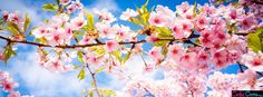 Cherry Blossom Spring Facebook Covers - Facebook Covers, Facebook Timeline Covers, Face Book Cover