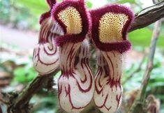 Nepenthes Lowii   Criaturas raras (9)