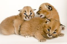 Two-week-old caracal kittens during a photo shoot at the Oregon Zoo. Photo by Michael Durham.