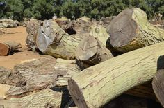 A small sample of the logs present at the yard.