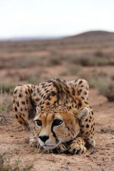 xblossomsakura:   Today is international cheetah... - Cheetahs and Things