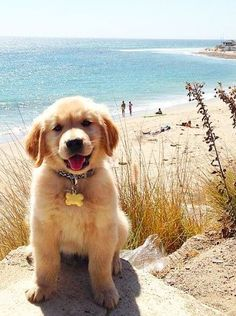 Golden pup at the beach
