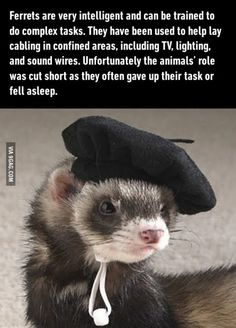 Ferrets are too smart
