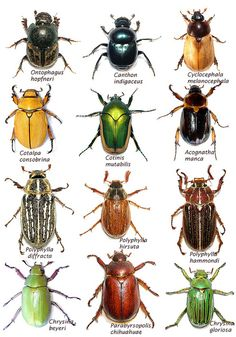 Arizona: Beetles, Bugs, Birds and more: July 2013 The Effective Pictures We Offer You About Lizards eye A quality picture … Insect Identification, Garden Bugs, Beetle Bug, Beetle Insect, Beautiful Bugs, Beautiful Pictures, Insect Art, Bugs And Insects, Equine Photography