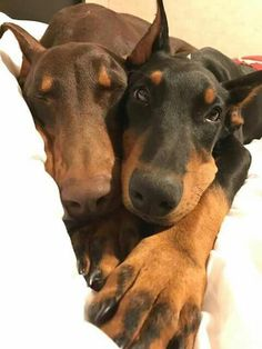 The Doberman Pinscher is among the most popular breed of dogs in the world. Known for its intelligence and loyalty, the Pinscher is both a police- favorite I Love Dogs, Cute Dogs, Doberman Love, Doberman Funny, Doberman Pinscher Dog, Mundo Animal, Beautiful Dogs, Mans Best Friend, Dog Life