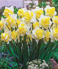 This Double Pleasure Daffodil - Five Bulbs is perfect! #zulilyfinds