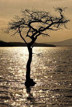 ~~Water Tree • Milarrochy Bay, Loch Lomond, Scotland by Click And Pray~~