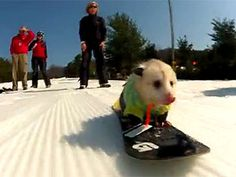 """Plan a winter in PA vacation to see ratatouille, called """"the world's greatest snowboarding opossum,"""" rides his snowboard at Liberty Ski Resort in Emmitsburg, Pennsylvania, where he boasts his own 2011-to-2012 ski pass registered under his name, Ratatouille Bowers! #PASnowDays"""