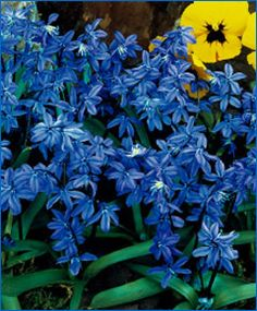 Scilla siberica Spring Beauty    Syn: The Siberian Squill. Circa 1939, this vivid-blue naturalizer bears up to six, sky-blue flowers on strong stems.